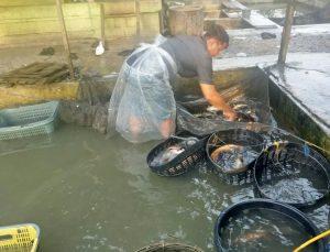Pedagang Ikan Mas