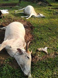 Lembu yang mati/ BS Min